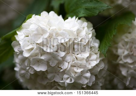 Close up of the guelder rose white flowers.