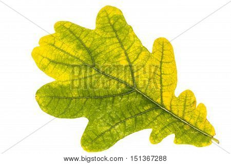Single oak leaf in autumnal colors isolated on white background
