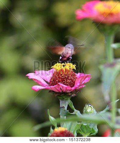 picture of a Sphingidae known as bee Hawk-moth enjoying the nectar of a gerbera. Hummingbird moth. Calibri moth.