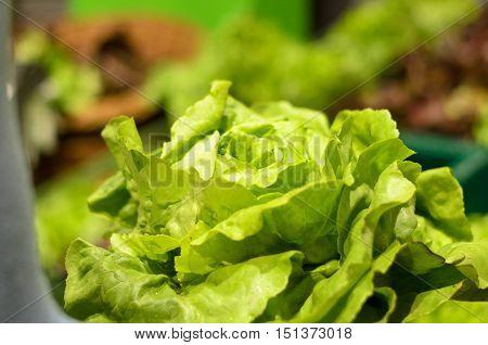 Fresh Head Of Leafy Green Lettuce