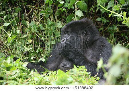 Wild Gorilla Animal Rwanda Africa Tropical Forest