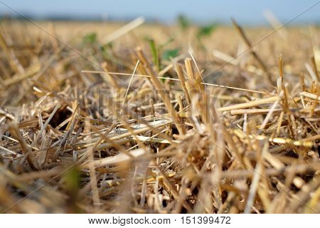 Beveled wheat field plant cereal harvesting industry