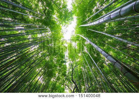Bamboo forest tilt up Arashiyama Kyoto areaJapan