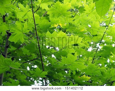 maple saplings in a woodland forrest in autumn