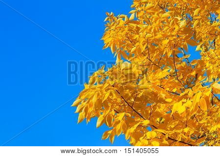 Vibrant fall yellow golden Hickory tree foliage on bright blue sky