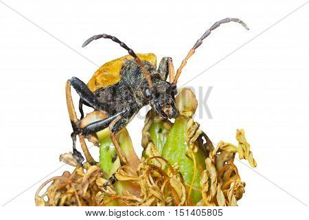 close up of the capricorn beetle (Brachyta bifasciata) on old flower peony. Isolated on white.