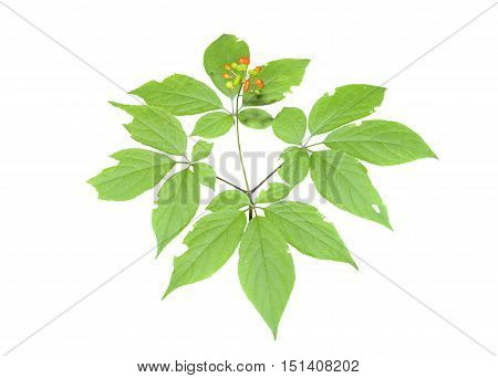 A close up of the medicinal plant ginseng (Panax ginseng). Isolated on white.