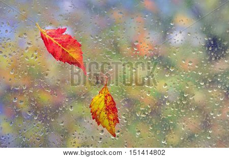 leaves stuck to the window and rain drops