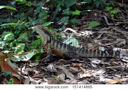 Australian Eastern Water Dragon (Physignathus lesueurii lesueurii). Large colorful lizard in Australia. Profile of Eastern Water Dragon Lizard as he stands still.