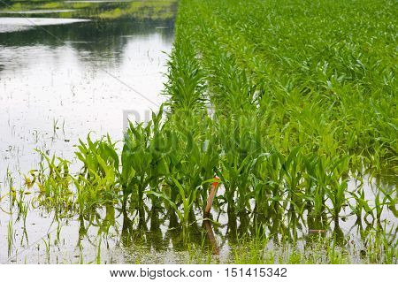 Corn under water after heavy rainfall in the Netherlands.