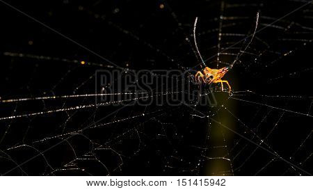 Long horned or Orb-weaver spider on the web(Macracantha arcuata) in nature