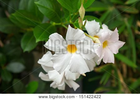 Closeup of Mandevilla, Rocktrumpet flowers with white petals and yellow center blooming in Italy
