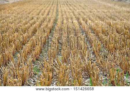 Agricultural beige field after harvest. The rows of mown hay stalks in perspective.