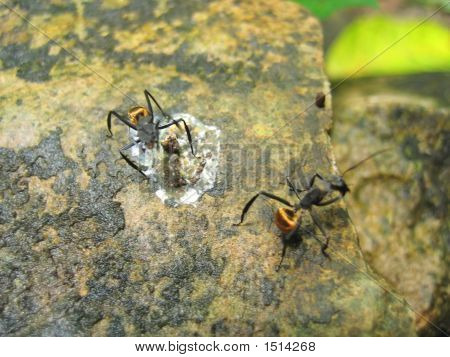 Tropical Big Yellow Ants On A Rock, Livingston, Guatemala