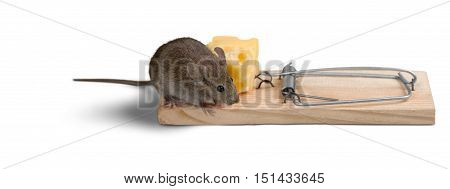 Mouse Trying to Eat Cheese from the Trap