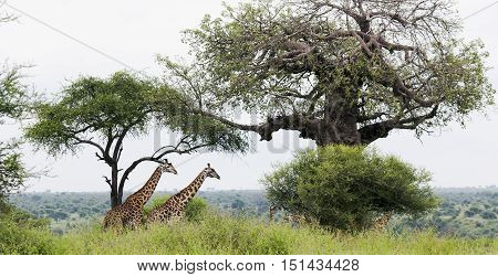 Two African giraffe in the meadows of the savannah  in Tarangire National Park, Tanzania.