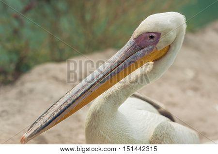 The pelican portrait. White Pelican (Pelecanus onocrotalus).