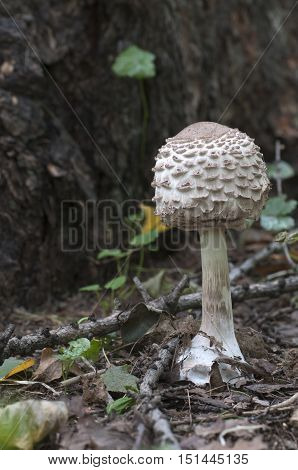 Macrolepiota procera mushroom close up shot macro