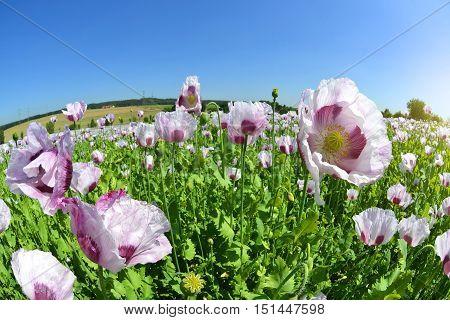 Poppy in the field. Sunny summer day.