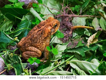 Big frog on the grass. Yellow and brown toad frozen in the grass. Dangerous tropical amphibian with poisonous skin. Cold blood animal in wild nature. Rainforest or jungle inhabitant. Tree frog photo