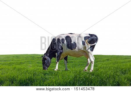 Cow grazing in the meadows of Galicia Spain. Isolated on white