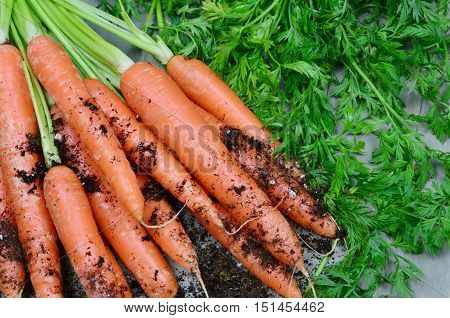 Carrots, Health Benefits and Precautions freshly harvested