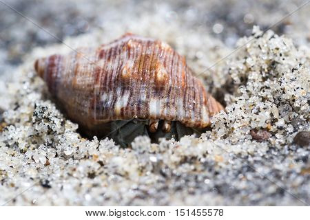 Tropical Hermit Crab