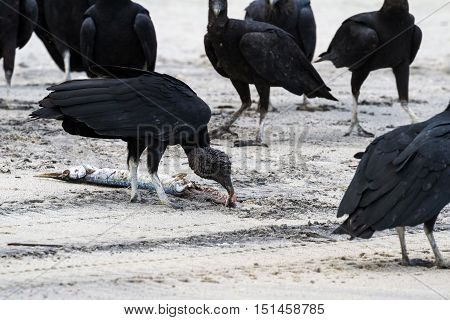 Vultures On The Beach