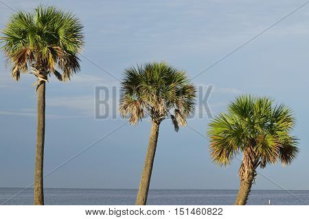 Trio of palm trees over looking the Gulf of Mexico.