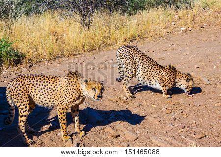 Private farm safari in Namibia. Feeding a family of cheetahs