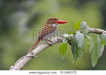 Banded Kingfisher Lacedo pulchella Female Birds of Thailand