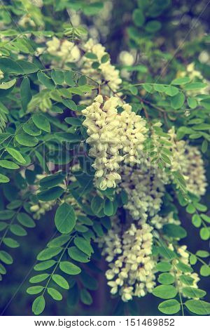 Blossoming of white acacia flowers at springtime, natural outdoor seasonal floral background