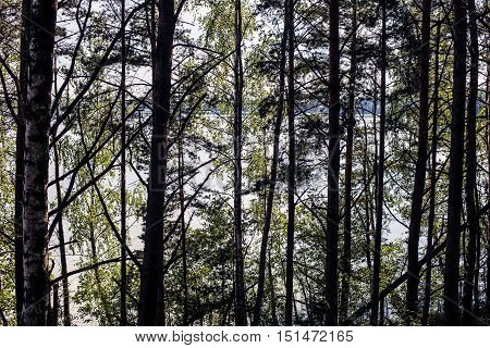 trunk of old fir trees in the dense dark primeval forest