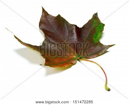 Multicolor Autumn Maple Leaf On White