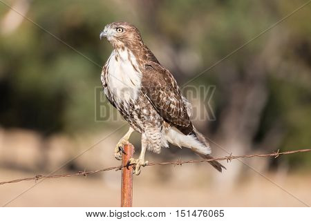 Cooper's Hawk (Accipiter cooperii) perched on a wire fence. Ed Levin County Park, Milpitas, California, USA.
