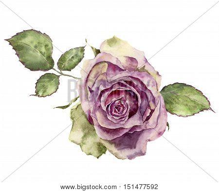 Watercolor rose with leaves. Hand painted vintage floral illustration isolated on white background. Botanical illustration for design