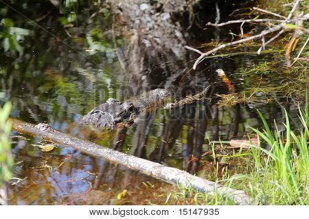 Mamãe e bebê Gator