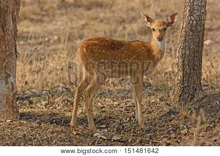 Young Spotted Deer in the Forest in Nagarhole National Park in India