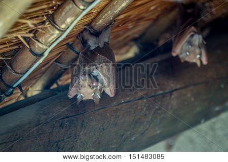 Epaulet Bat Hanging Upside Down.
