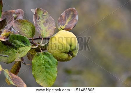 One ripe organic quince on twig with leaves in autumn colors