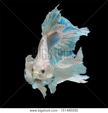 betta fish fighting fish siamese fighting fish isolated on black background