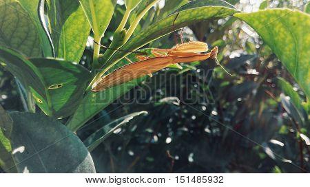 Brown Praying Mantis Sitting in the Lush Green Garden Foliage Horizontal