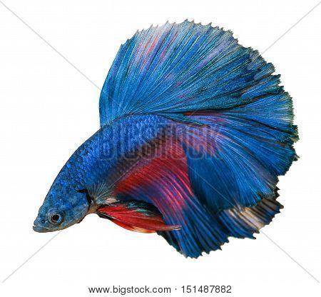 betta fish isolated on white background. Betta fish, siamese fighting fish, betta splendens isolated on white background