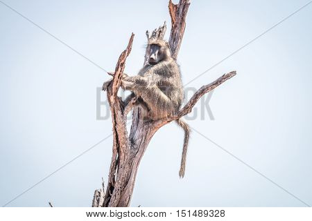 Baboon Sitting In A Dead Tree.