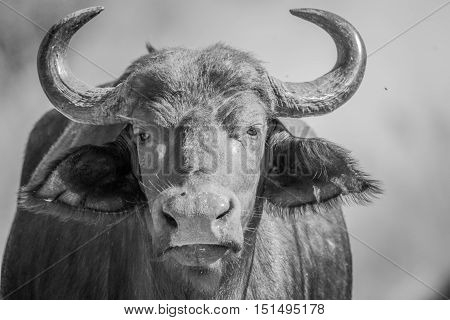Starring African Buffalo In Black And White.