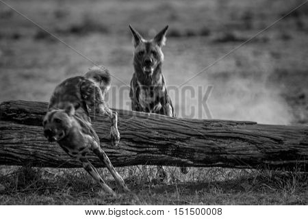 Playing African Wild Dogs In Black And White.