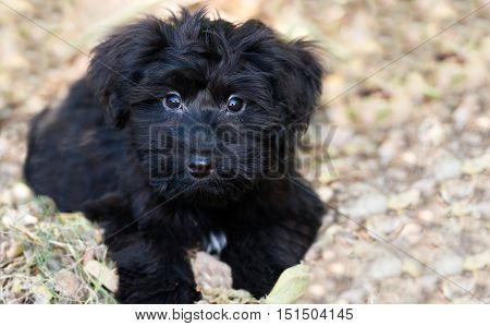 Puppy dog cute is an adorable fluffy black puppy dog outdoors looking as cute as an animal can look.