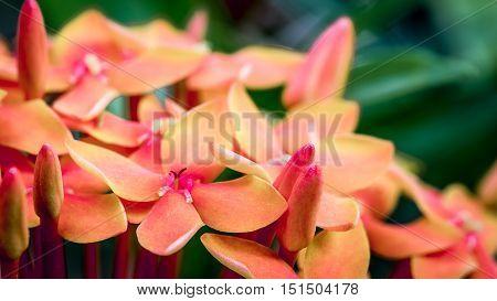 Red Ixora Flower, Close-up Shot