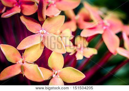 Red Ixora Flower, Macro Shot