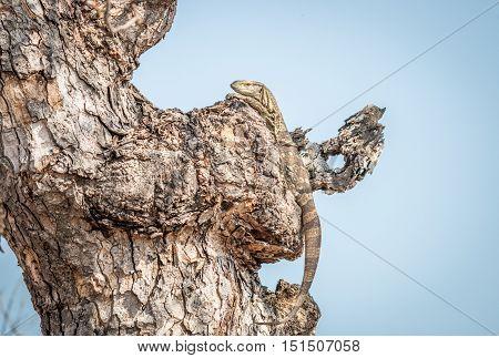 Rock Monitor In A Tree.